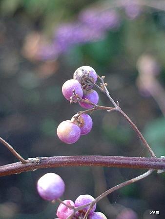 ムラサキシキブ(Callicarpa japonica Thunb.)