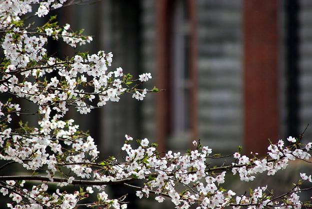蹴上・・・インクラインの桜 その…30