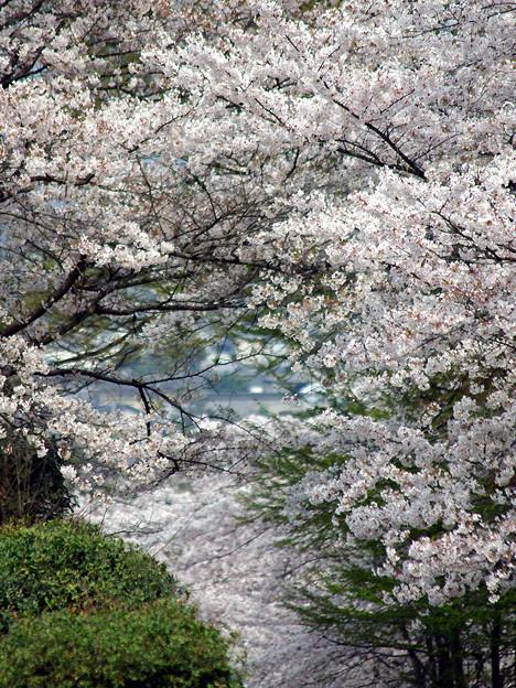 蹴上・・・インクラインの桜 その…32