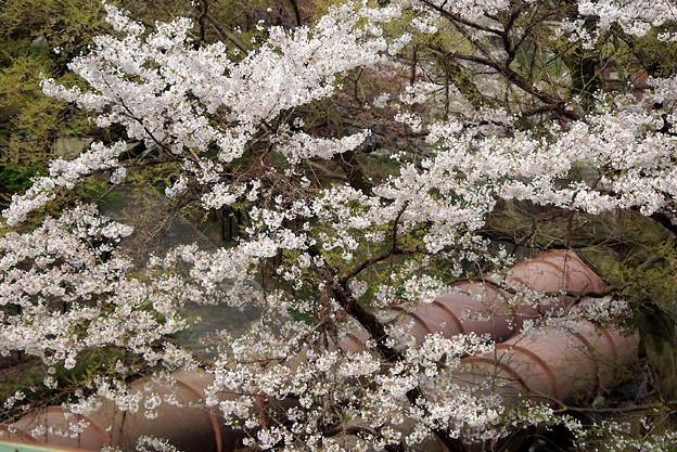 蹴上・・・インクラインの桜 その…35