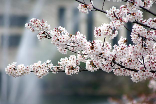 蹴上・・・インクラインの桜 その…43