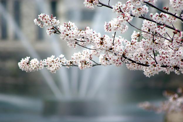 蹴上・・・インクラインの桜 その…44