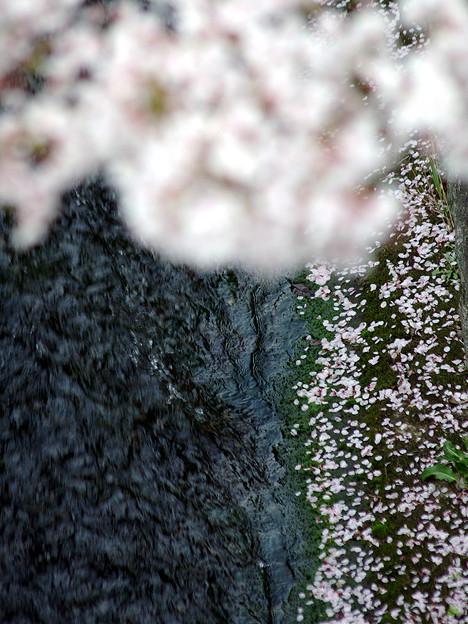 蹴上・・・インクラインの桜 その…45
