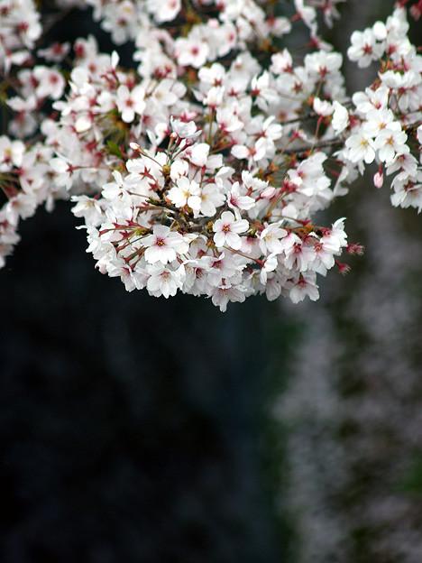 蹴上・・・インクラインの桜 その…46