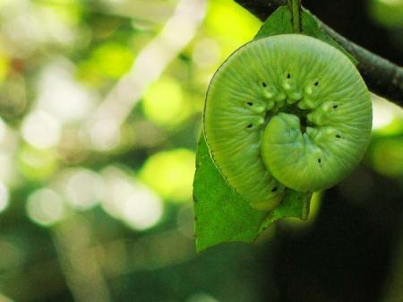 キイロモモブトハバチ(幼虫)