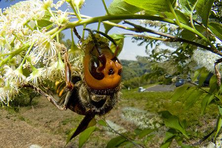 ウワミズザクラに来た、オオスズメバチ