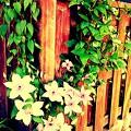 写真: てっせんの花。