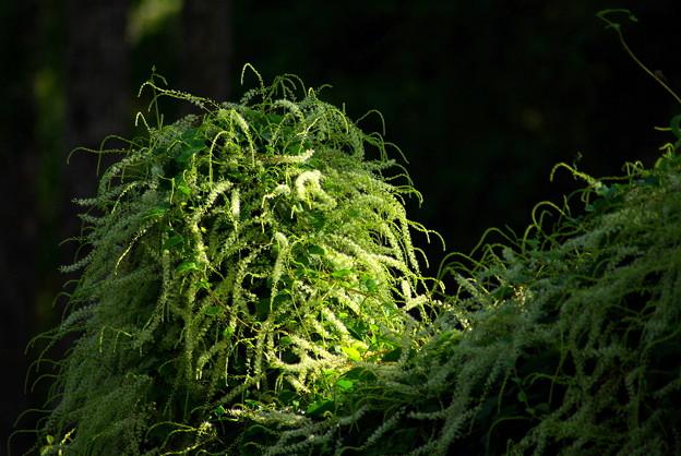 サラシナショウマ(晒菜升麻)  キンポウゲ科 ? in a Bush 4