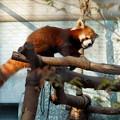 Photos: 夢見ヶ崎動物公園のレッサーパンダ