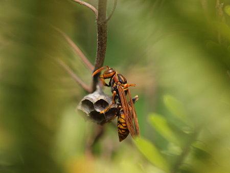 アシナガバチの巣作りの途中で一休み