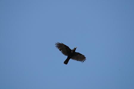 カラスもかっこいい飛翔をするのだった