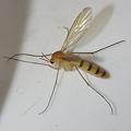 写真: 蚊に似て蚊にあらず?
