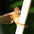 Photos: 頑張ってもガンバッテモ飛べない幼いスズメ