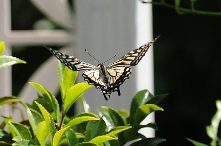 今日のアゲハチョウの舞姿