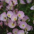写真: 昼咲き月見草