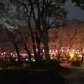 桜@調公園