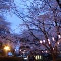 2007年桜の写真