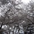 桜@大宮公園