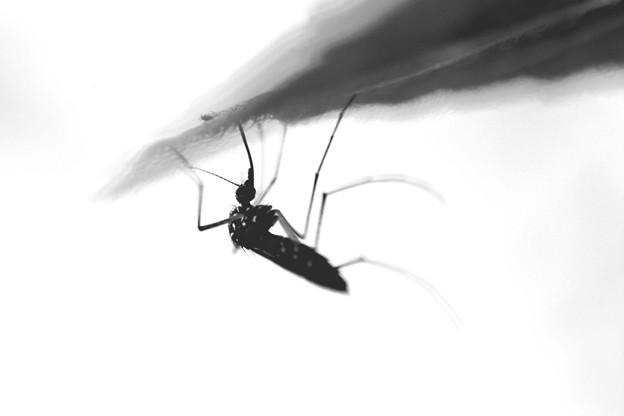 写真: 水分補給 蚊もね