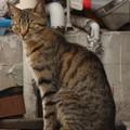 茶虎の野良猫
