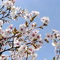 Photos: 『青空のチシマ桜』DSC00096