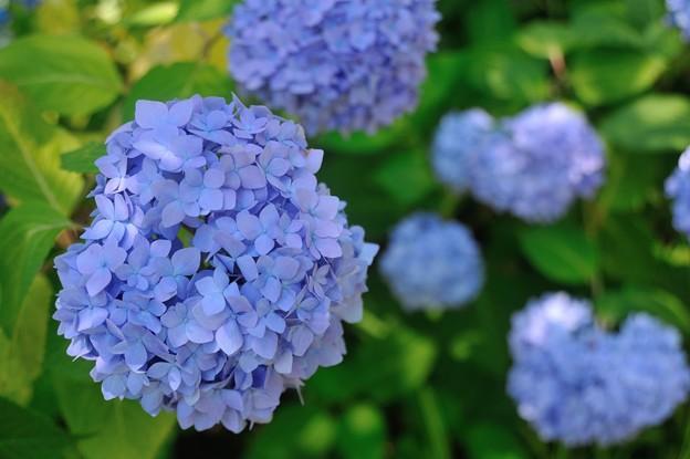 【紫陽花:ヒメアジサイ】(2)