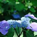 【紫陽花:ソフティ】(2)