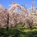 Photos: IMG_6409京都府立植物園・紅枝垂桜