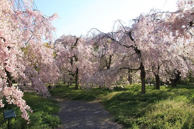 IMG_6429京都府立植物園・紅枝垂桜