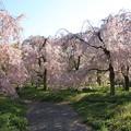 Photos: IMG_6429京都府立植物園・紅枝垂桜