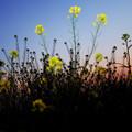 Photos: 色移り菜の花