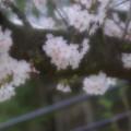 Photos: ソフトな桜