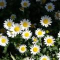 焼き物の街のたくさんの白い花