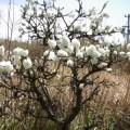 Photos: 焼き物の街の白い木の花