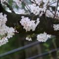 Photos: 木に桜