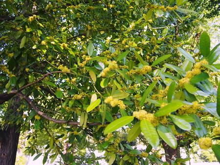 上野で見かけた花 月桂樹?2014年04月27日_P4270527