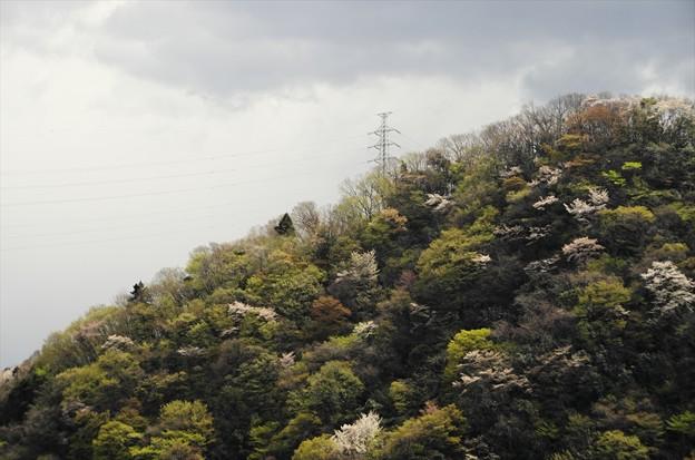 津久井湖さくら祭り04「山桜」
