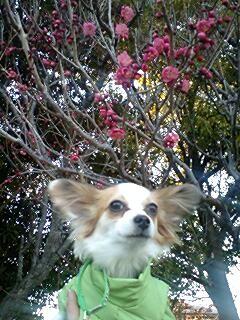 梅が咲いていたよ。