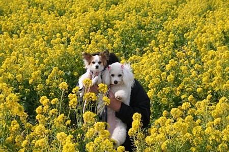 菜の花と犬