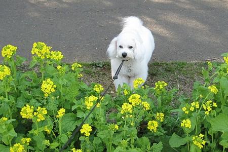 菜の花とくるたん。