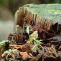 Photos: 朽ちた杭と芽