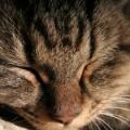 写真: 昼寝する猫