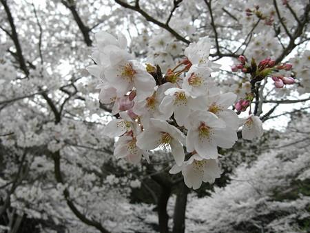 公園の桜 3