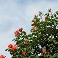 写真: 青空と薔薇と