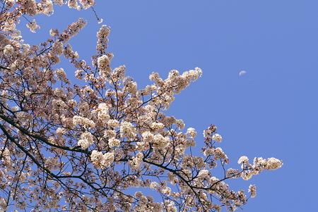 白い月もええのう。ん?