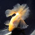 写真: 土佐錦(トサキン):2005年度第33回トサキン保存会入賞魚(親魚4位)