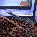 写真: コバルトツリーモニター(Varanus macraei) 和名:アオホソオオトカゲ