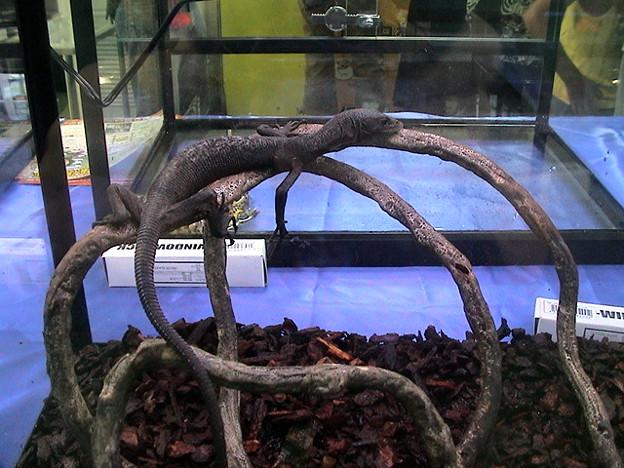 ブラックツリーモニター(Varanus beccarii) 和名:クロホソオオトカゲ