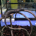 写真: ブラックツリーモニター(Varanus beccarii) 和名:クロホソオオトカゲ