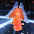 写真: 蝶尾(チョウビ) まさに蝶の尾びれの金魚!